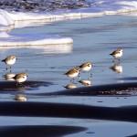 Western-Snowy-Plovers