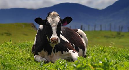 Strauss-cows