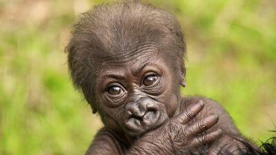 Sanfranciscow-kabibe-baby-gorilla