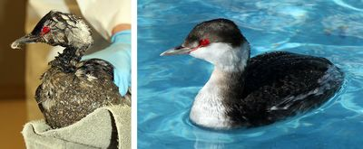 Horned-Grebe-Before-After-Mystery-Goo